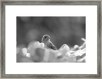 Female House Finch Perched In Black And White Framed Print