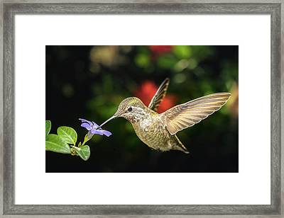 Framed Print featuring the photograph Female Hummingbird And A Small Blue Flower Left Angled View by William Lee