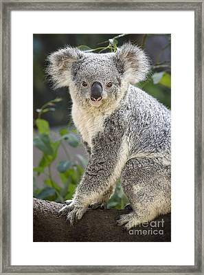 Female Koala Framed Print by Jamie Pham