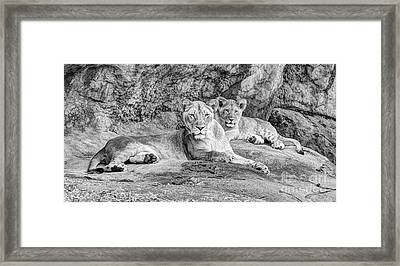 Female Lion And Cub Bw Framed Print