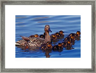 Female Mallard Duck With Chicks Framed Print