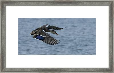 Female Mallard Flying Framed Print by Marilyn Wilson