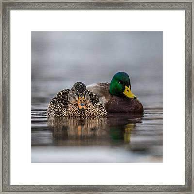 Female Mallard Framed Print