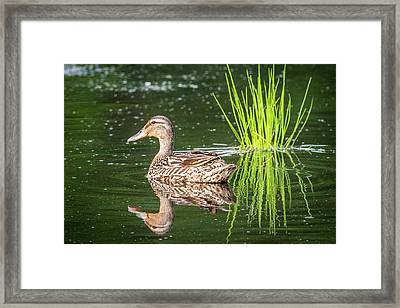Female Mallard Reflections Framed Print