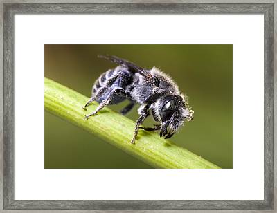 Female Megachilid Bee Framed Print by Andre Goncalves