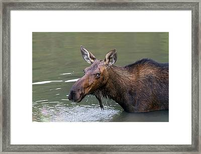 Framed Print featuring the photograph Female Moose Head by James BO Insogna