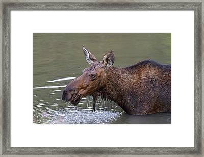 Framed Print featuring the photograph Female Moose Head Shot by James BO Insogna