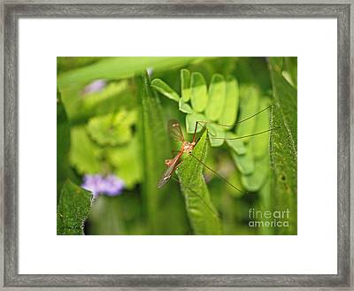 Female Mosquito Framed Print