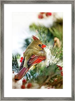 Female Northern Cardinal Framed Print by Christina Rollo