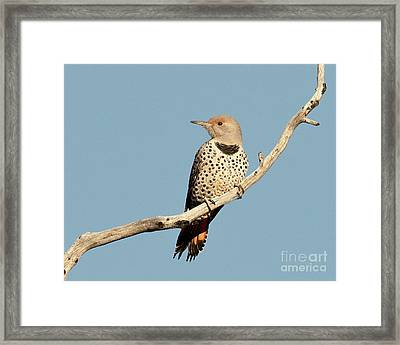 Female Northern Red Shafted Flicker Framed Print