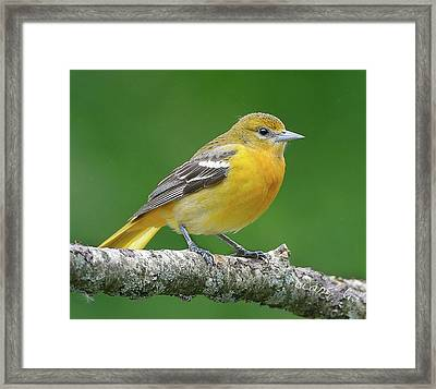 Female Oriole Framed Print