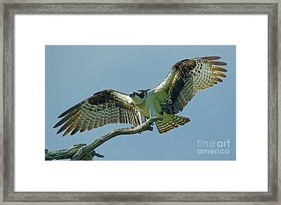 Female Osprey Framed Print