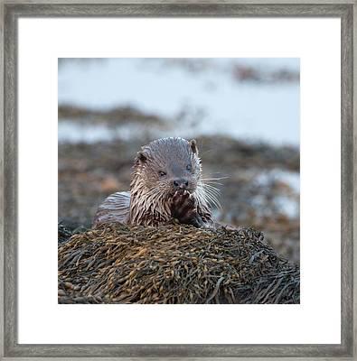 Female Otter Eating Framed Print