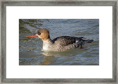 Framed Print featuring the photograph Female Red-breasted Merganser by Ricky L Jones
