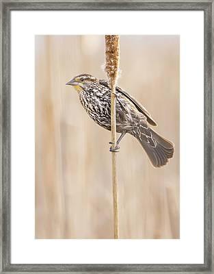 Female Red-winged Blackbird Framed Print by Jim Hughes