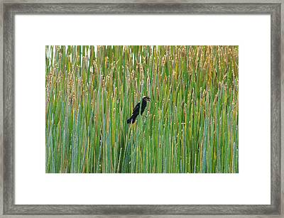 Female Red-winged Blackbird Framed Print by Lynda Dawson-Youngclaus