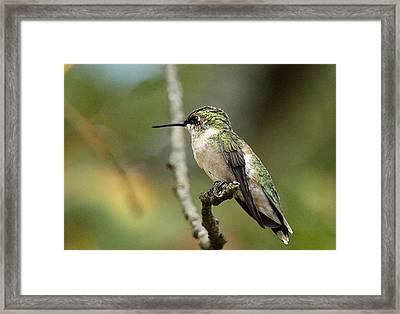 Female Ruby-throated Hummingbird On Branch Framed Print