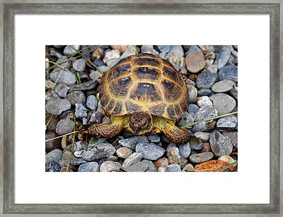 Female Russian Tortoise Framed Print