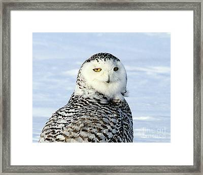Female Snowy Owl Framed Print