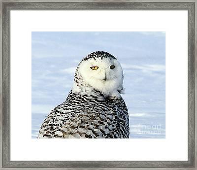 Female Snowy Owl Framed Print