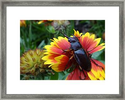 Female Stag Beetle Framed Print