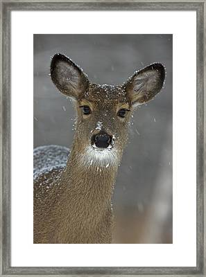 Female White-tailed Deer, Odocoileus Framed Print