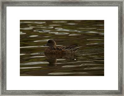 Framed Print featuring the photograph Female Wigeon by Jeff Swan