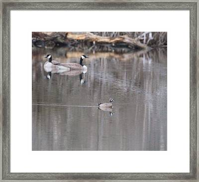 Female Wood Duck And Canada Geese Framed Print
