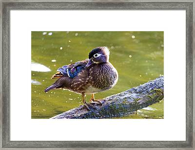 Female Wood Duck Framed Print by David Gn
