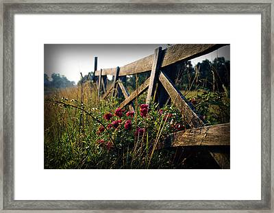 Fence And Roses Framed Print by Dave Chafin