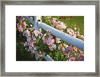 Fence With Pink Roses Framed Print by Elena Elisseeva