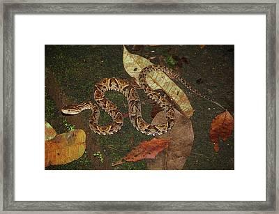 Fer-de-lance, Bothrops Asper Framed Print