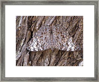 Ferentina Calico Butterfly Framed Print by Sean Griffin