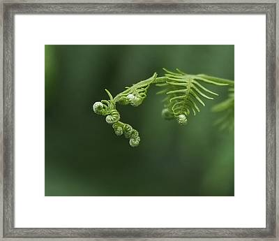 Fern Frond Awakening Framed Print by Rona Black