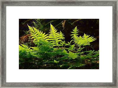 Fern Light Framed Print