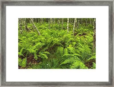 Ferns And Birch In Soft Light Framed Print