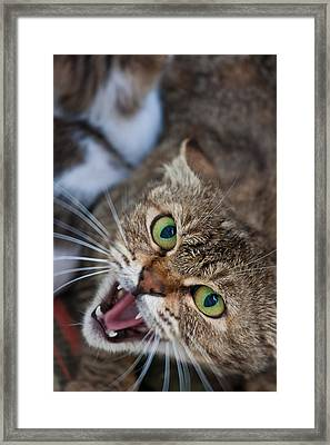Ferocious Domestic Cat With Open Mouth Framed Print by Greg Brave