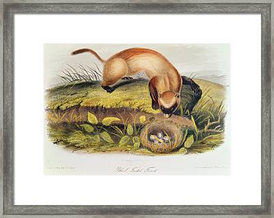 Ferret Framed Print by John James Audubon