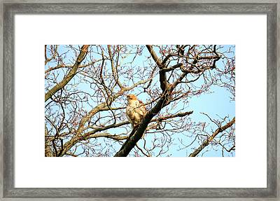 Copper's Hawk Juvenile Framed Print by Charline Xia