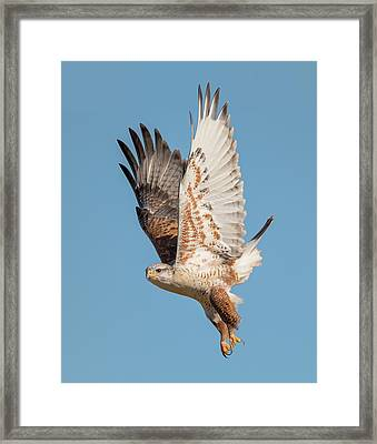 Fledgling Launch Framed Print by Loree Johnson