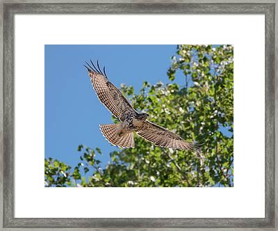 Young Hawk Soaring Framed Print by Loree Johnson