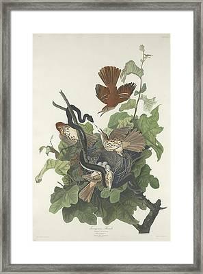 Ferruginous Thrush Framed Print by Dreyer Wildlife Print Collections