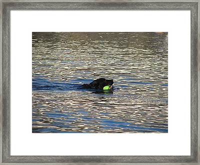 Fetch  Swimming 2 Framed Print by Hasani Blue