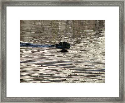 Fetch Swimming Framed Print by Hasani Blue