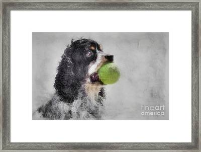 Fetching Cocker Spaniel  Framed Print