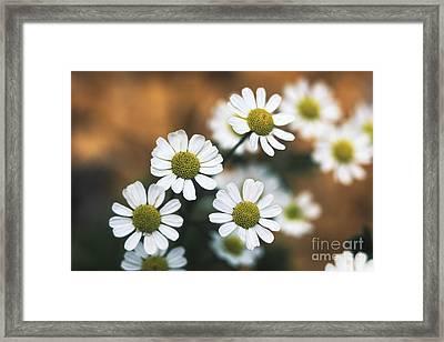 Feverfew Plant Framed Print by George Mattei