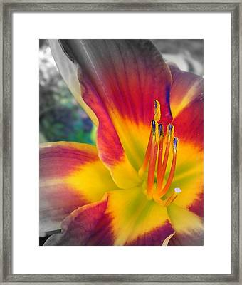 Feverishly Hot Lily Framed Print by Cynthia Daniel