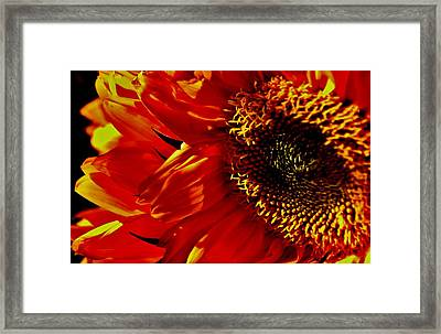 Fickle Sunflower Framed Print