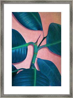 Ficus Elastica Framed Print by Mark Ashkenazi