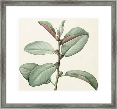 Ficus Rubeginosa Framed Print by Pierre Joseph Redoute
